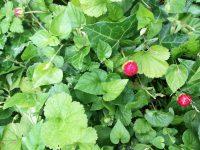 und wilde Erdbeeren